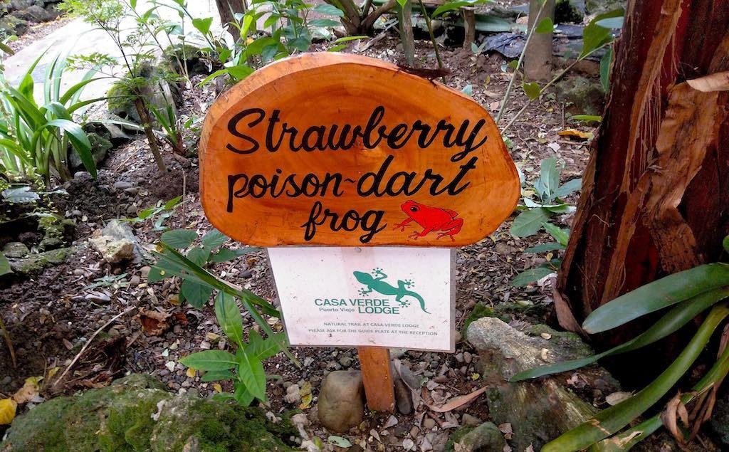 Der Strawberry Poison Dart Frog - so schnell wie er erschien, war er auch schon wieder verschwunden.
