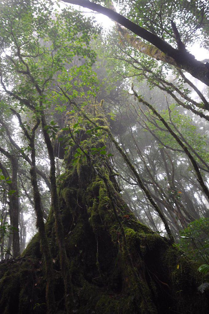 Ein Hauch von Herr der Ringe: ein Jahrhunderte alter Baum im Nationalpark Santa Elena.