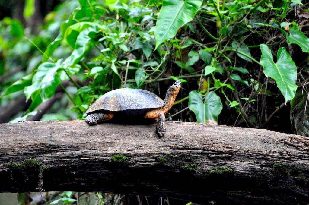 Eine kleine Flussschildkröte.