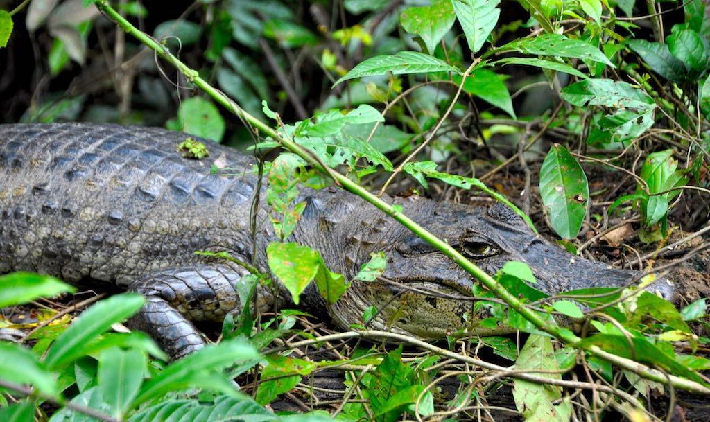 Krokodilkaimane sind die einzigen Kaimane nördlich von Südamerika.