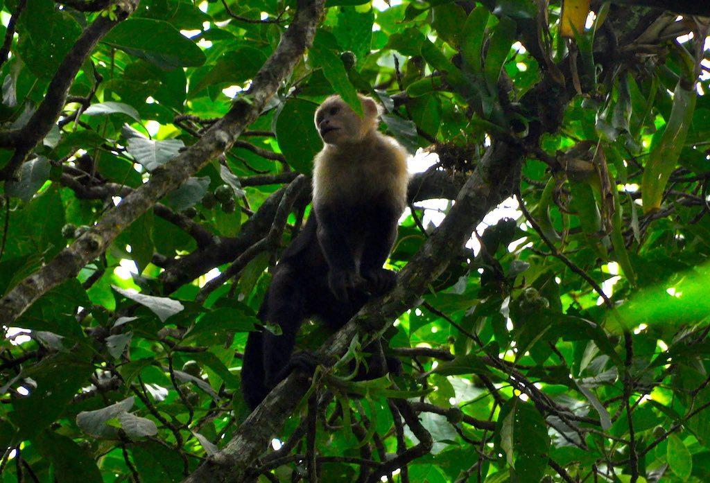 Kapuzineräffchen im Nationalpark Tortuguero.
