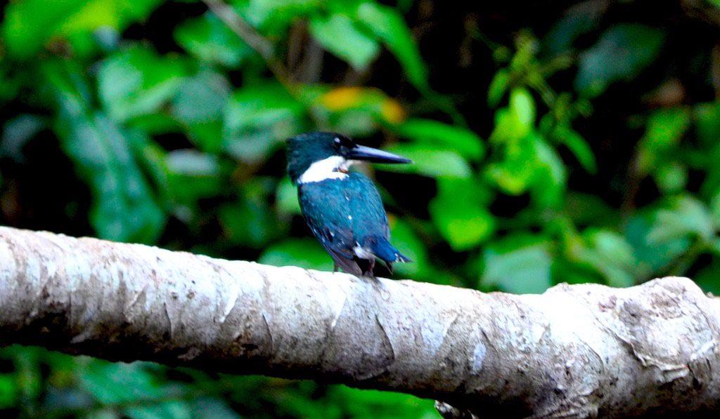 Faszinierende Volgelwelt im Parque Nacional Tortuguero.