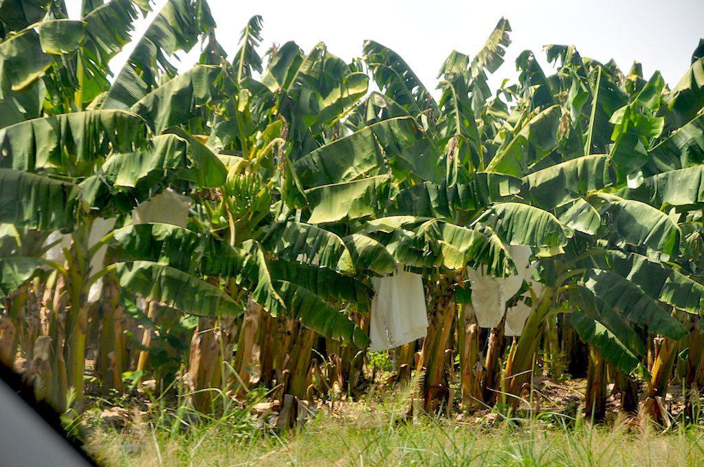 Vorbei an Bananenpflanzen auf dem Weg zum Kakao.
