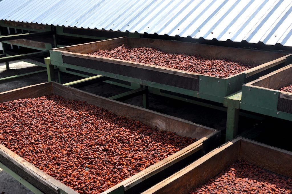 Aus diesen Kakaobohnen wird bald belgische Schokolade - und schon jetzt schmecken sie unglaublich lecker und aromatisch!