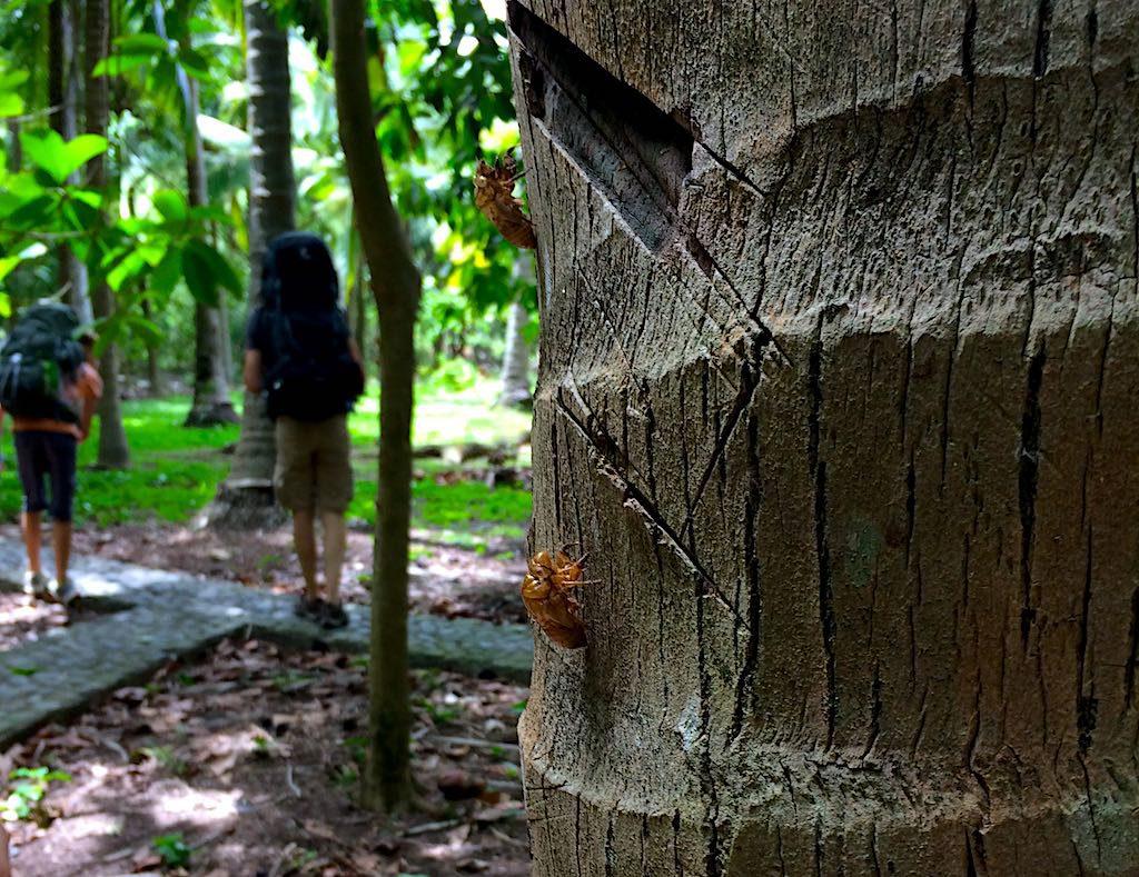 Leere Larvenhaut einer Zikade am Baum bei unserem Abschied.