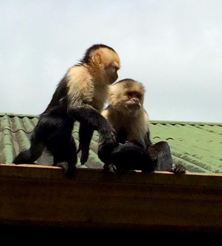 Zwei Kapuzineräffchen auf dem Dach des Santa Elena Hostel Resorts.