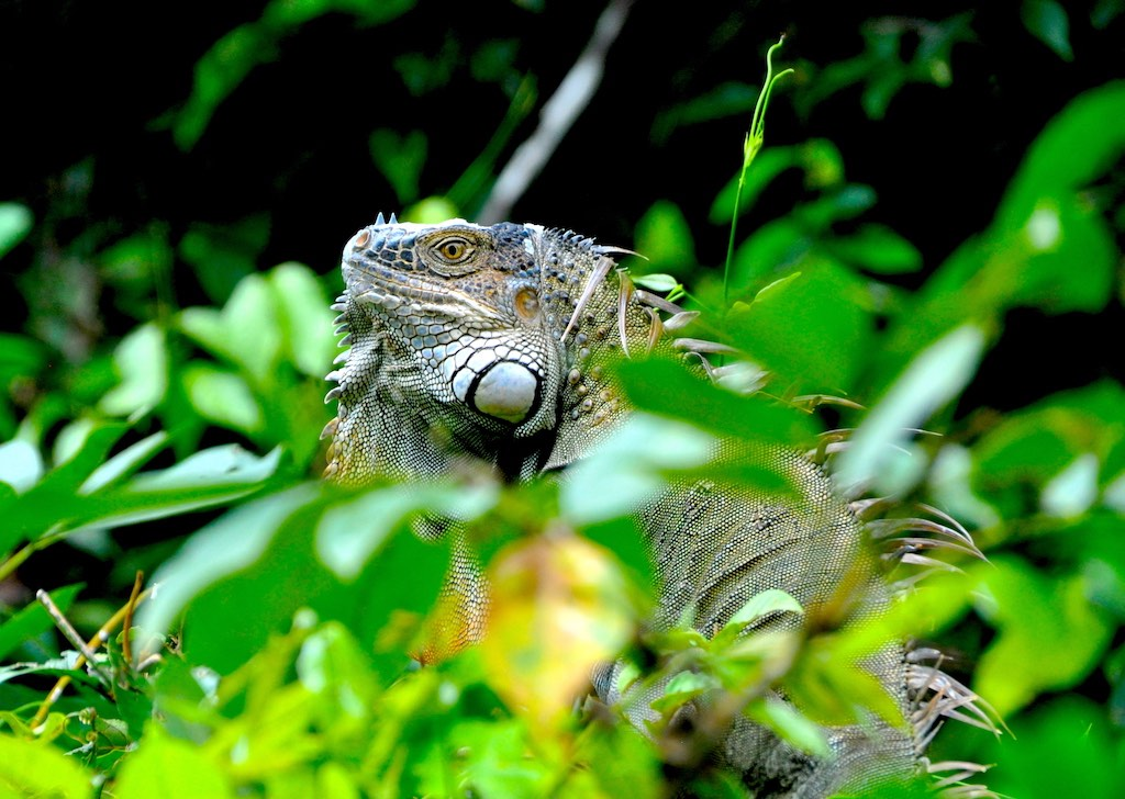 Leguan im Nationalpark Tortuguero