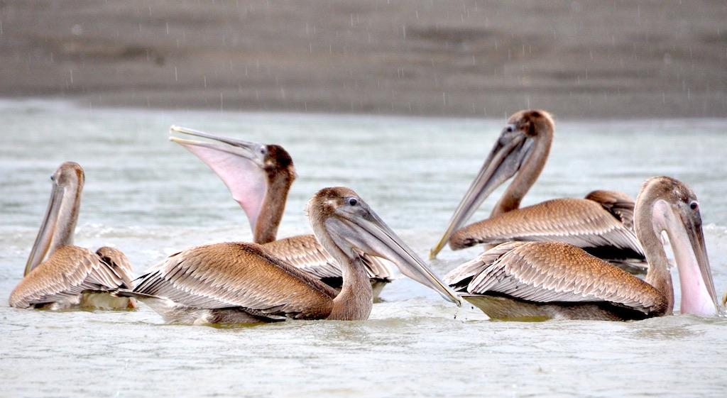 Pelikane auf dem Tortuguero-Kanal